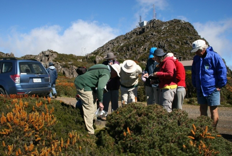 Scoparia at Mt Barrow